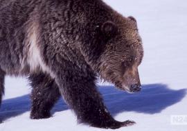 Минприроды РФ предложило убивать медведей всю зиму