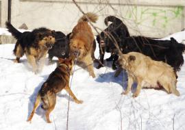 Чиновникам Салехарда грозит уголовное преследование после нападения бродячих собак на детей