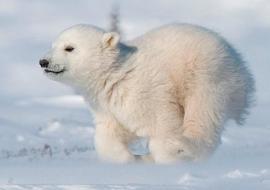 Зоопарк «Орто Дойду» покажет новорожденного белого медвежонка онлайн