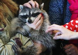 Свердловский Россельхознадзор дал контактным зоопаркам срок до апреля