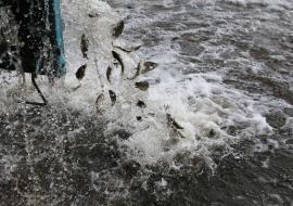 В Верх-Сысертский пруд выпустили более двух тонн молоди карпа