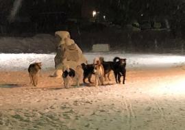 «Гражданский патруль» заявил о росте числа нападений бездомных собак на людей в Челябинской области
