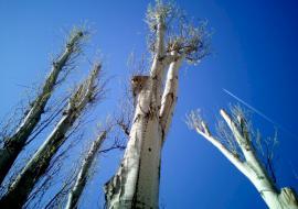 Мэрия Екатеринбурга спилит деревья на полмиллиона рублей