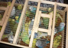 В Челябинской области ФСБ задержала попугаев-нелегалов