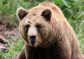 Под Екатеринбургом грибника несколько часов преследовал медведь