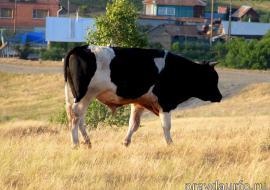 Россельхознадзор обнаружил опасное заболевание скота в двух районах ЯНАО