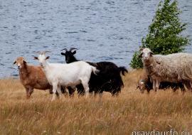 Курганский Россельхознадзор обнаружил нелегальную скотобойню