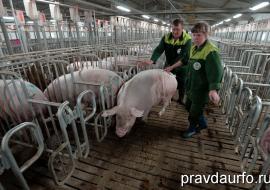 Власти Свердловской области договорились о консервации мощностей свинокомплекса «Уральский» в Полевском