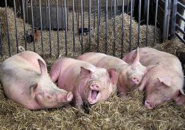 Тюменский Россельхознадзор закрыл ферму с больными животными