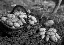 Кобылкин закапывает миллионы в картофельных полях