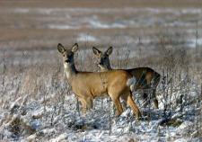 В Тюменской области суд наказал убивших косуль троих браконьеров