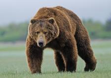 Финские военные застрелили медведя во время учений