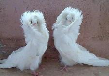 Из-за вспышки кори в Екатеринбурге отменили выставку декоративных голубей