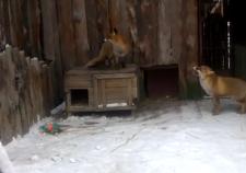 В екатеринбургский зоопарк приехали лиса и носуха из Ялты