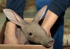 В екатеринбургском зоопарке родился долгожданный земляной поросенок